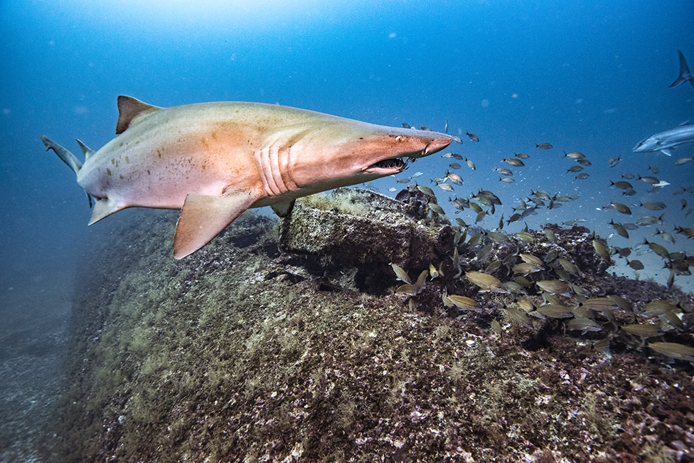 A sand tiger shark swims over Tarpon